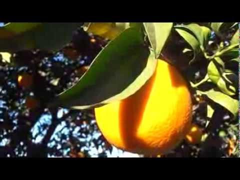 NARANJO: Citrus sinensis (http://www.riomoros.com)