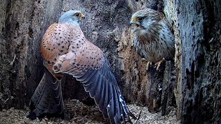 Young Male Kestrel Meets His Match in Courtship