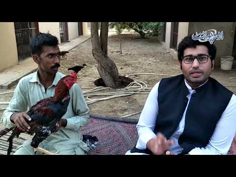 How To Prepare Cocks For Fights?   Special Aseel Murgha Training   Most Amazing Rooster Fight 2019