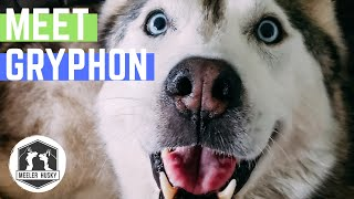 OUR NEW SIBERIAN HUSKY | ALL ABOUT GRYPHON THE HUSKY!