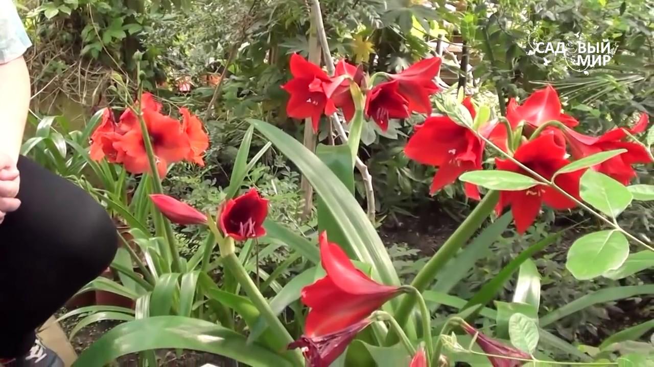 гиппеаструм в саду