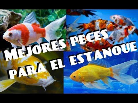 mejores peces para estanque peces de agua fr a youtube