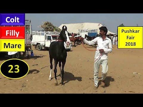 पुष्कर मेला Pushkar Fair Mela : Indian Marwari Horse Market 2018 : Mare Colt Filly : Ghoda Bazar ...