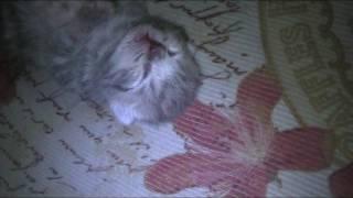 Маленький котенок дергается во сне