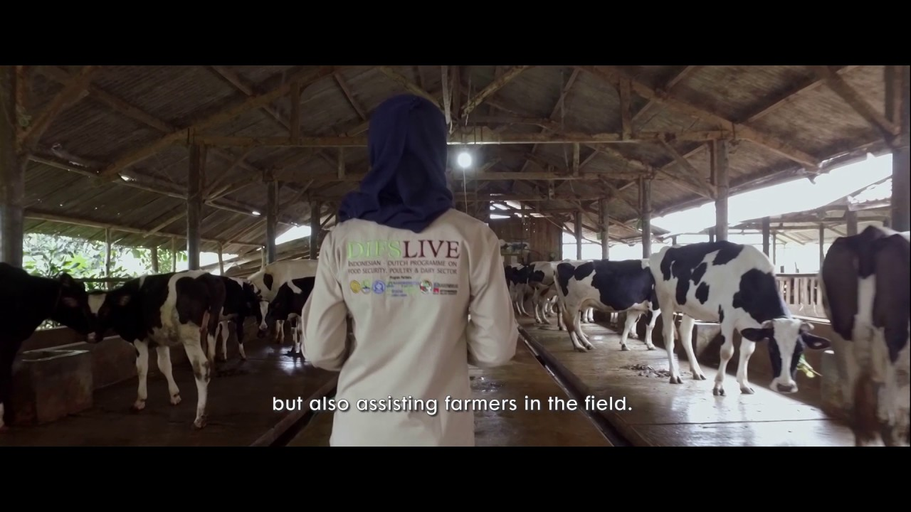 indonesian dairy project youtube