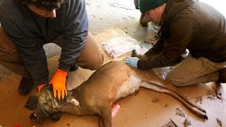 NC Deer Relocation Project for Cherokee Lands