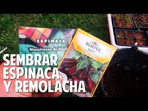 Cómo plantar espinaca y remolacha - Asociación de cultivos @cosasdeljardin