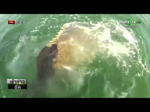 ปลาเก๋ายักษ์กินปลาฉลามทั้งตัว