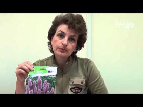 Неприхотливые садовые цветы Лиатрис. Сайт