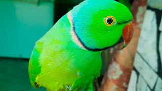 Mitthu The Boss Of Talking Parrot Family