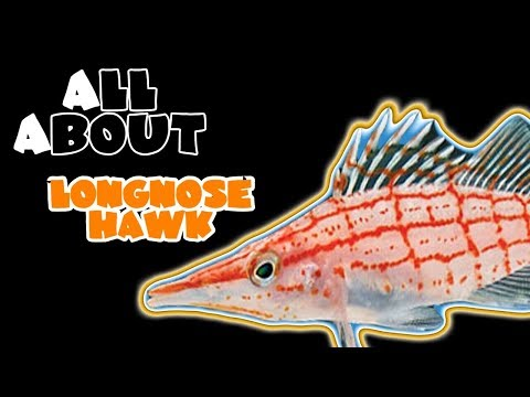 All About The Long Nose Hawkfish