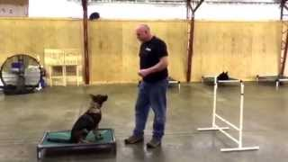 "Dark Sable German Shepherd Female ""ivana"" Trumps Other Dogs For Sale Obedience Puppy Demo"
