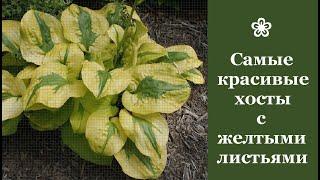 ❀ Самые красивые хосты с желтыми листьями