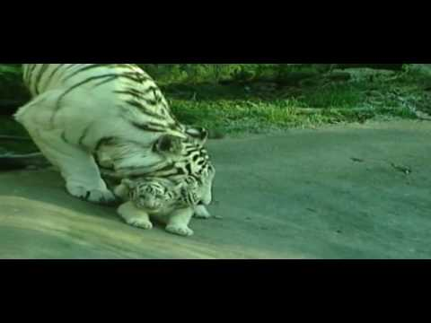 Siegfried,  Roy And Tiger Horn Attack | Fame Story | Upload 2016