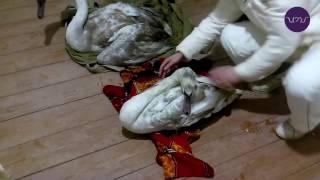 Спасение лебедей под Евпаторией