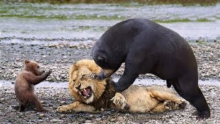 Epic Battle Of King Lion vs Bear - Mother Bear Save Her Baby From Lion