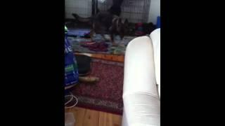German Shepherd Puppy Zoomies