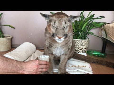 Russian Couple Adopted A Wild Animal, Now Hes The First Domesticated Puma In The World..
