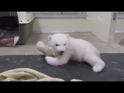 Orphaned Polar Bear Cub Rescued