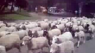 マザー牧場で行われてる羊の群れが走ってるのが見れます。