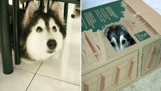 This Adorable Husky Was Raised By Cats And Acts Exactly Like A Cat