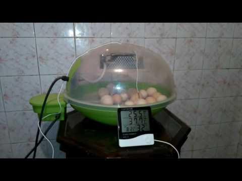 Comment couver des œufs