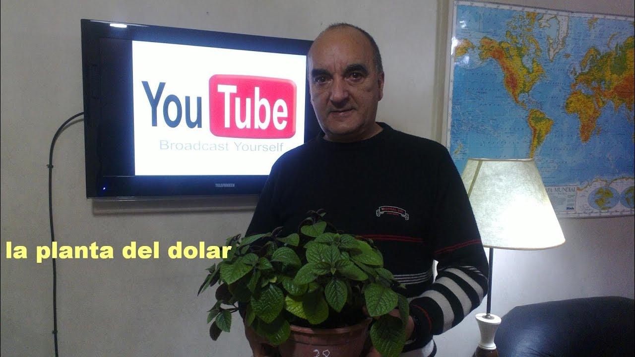La planta del dinero youtube - Plantas para atraer el dinero ...