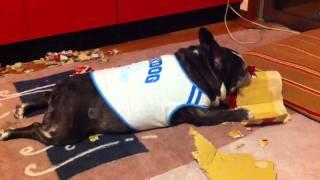 French Bulldog:senna.