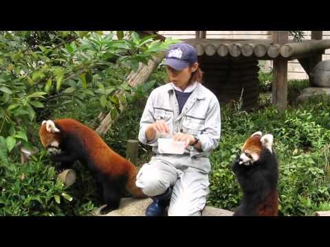 Pretty red panda of the Fukuoka shi Zoo, Japan