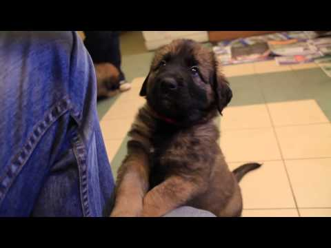 More Cute Leonberger Puppies