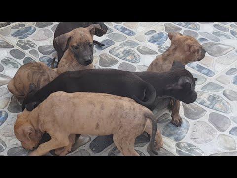Bán chó Phú Quốc, ai thích em nào thì đt: 0977995535