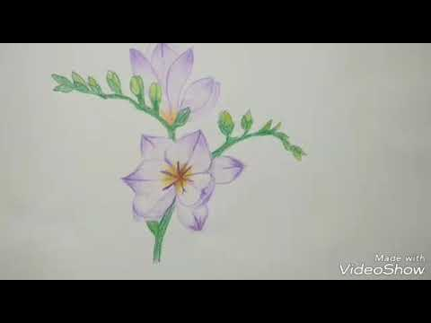 How To Draw Freesia Flowers With Colors Pencils Youtube