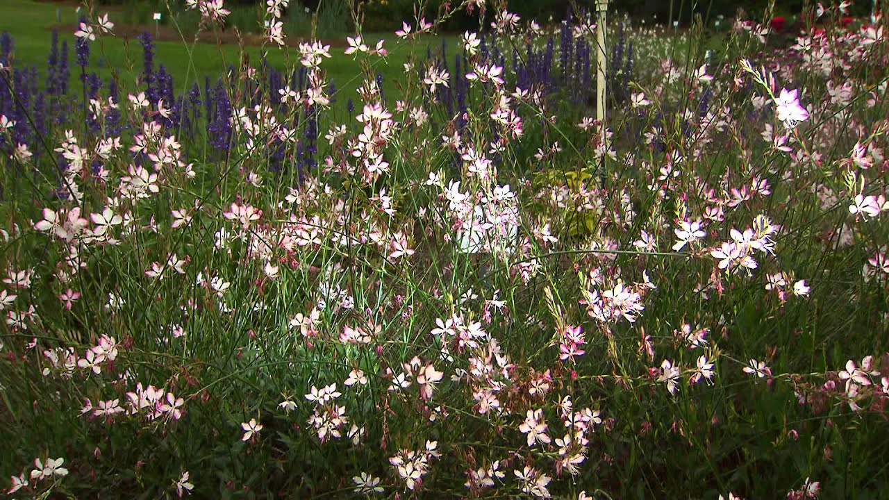 Gaura Adds Elegant Movement To Landscape Youtube