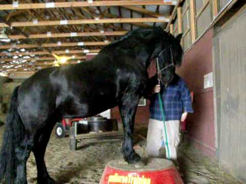 Friesian learning tricks at the MN horse training academy!
