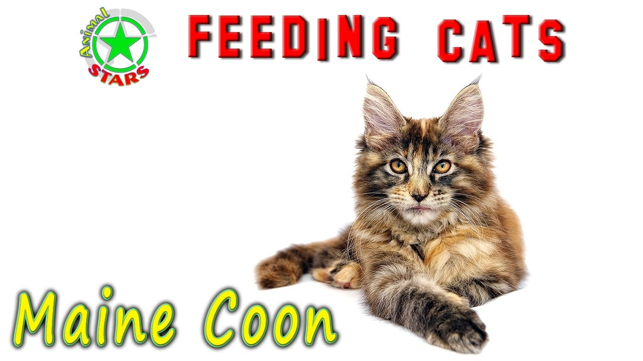 Feeding Maine Coon Cats And Kittens. How To Feed Your Cat Correctly?