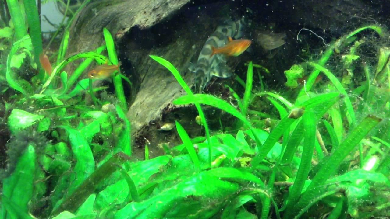 Welche fische fressen schnecken rosa gelb lila fische for Fressen kois kleine fische