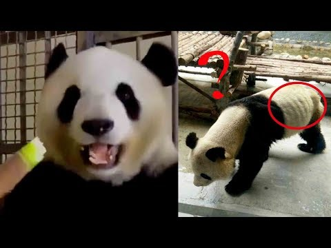 Panda's ribs can be seen protruding! Netizens blame the zoo for cutting food supply