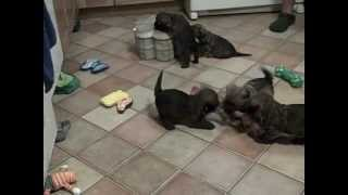 Carolina's Puppies Playing In The Kitchen At 6 Weeks Old 4-29-12