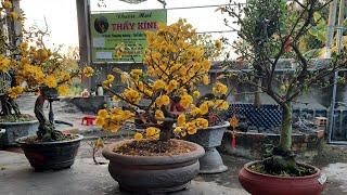 Xem hơn 10 giống hoa mai nở. Vườn mai Thầy Kính