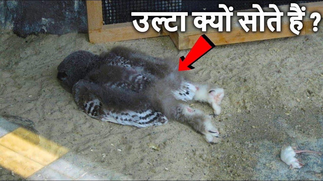 उल्लू उल्टा क्यों सोते हैं जानकर आप चौंक जाओगे Strange Animal Sleeping Habits