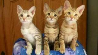Two months old three ocicat kittens' synchronize! Have enjoy!