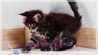 고양이분양 라온캣 메인쿤 왕자
