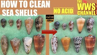 How to clean and polish sea shells !  Seashell Collection