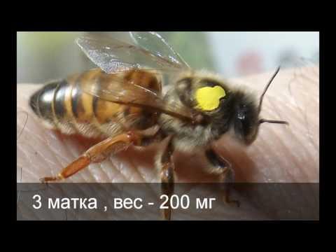 продажа пчелиных маток бакфаст с матковыводной пасеки города Егорьевска, Московской области