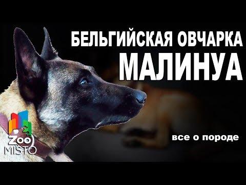 Бельгийская овчарка Малинуа  - Все о породе собаки | Собака породы - Бельгийская овчарка Малинуа