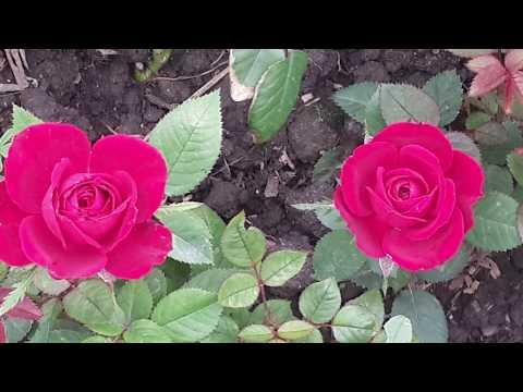 ✅ Миниатюрные розы в моем саду