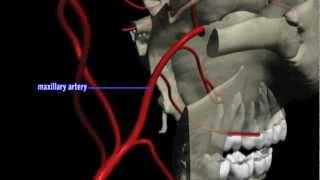 顎動脈の主な枝 The main branch of maxillary artery