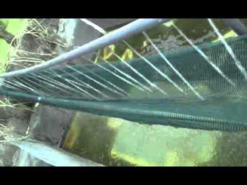 Estanque de tilapia alimentado con bomba de 1 2 hp doovi for Como criar mojarras