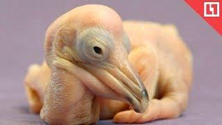 Детеныш кудрявого пеликана