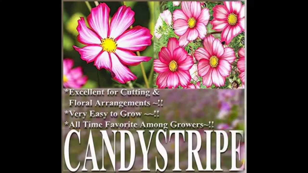 Candy Stripe Cosmos Bipinnatus Cosmos Flower Seeds On Myseeds